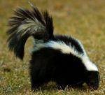 Striped Skunk (Mephitis mephitis) sniffs about in the grass